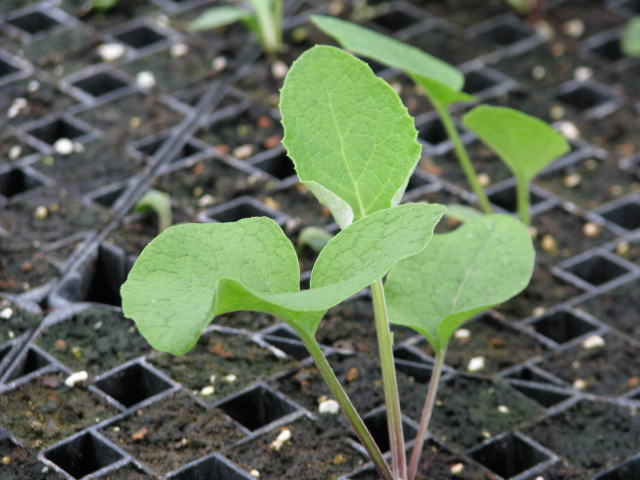Burdock Seedling
