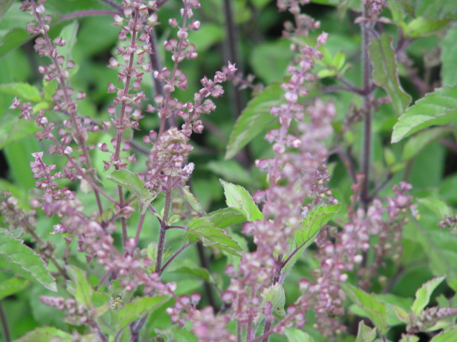 Purple Flowering Holy Basil