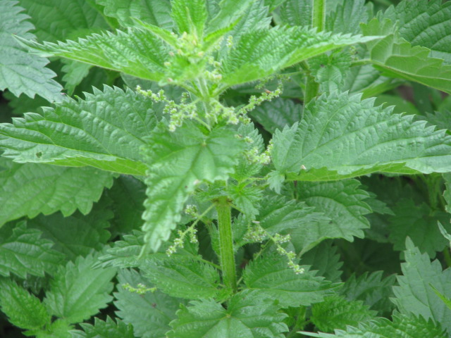 Green Leaves of Stinging Nettle Plang